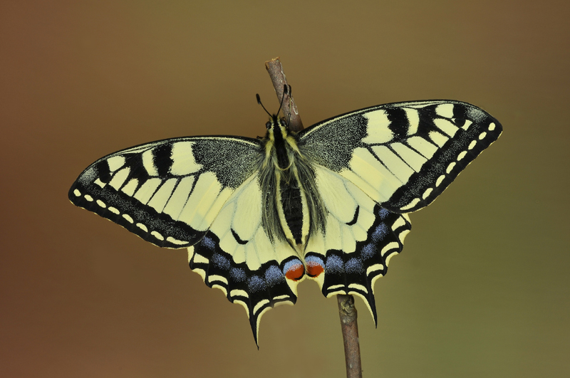 machaon-12.png