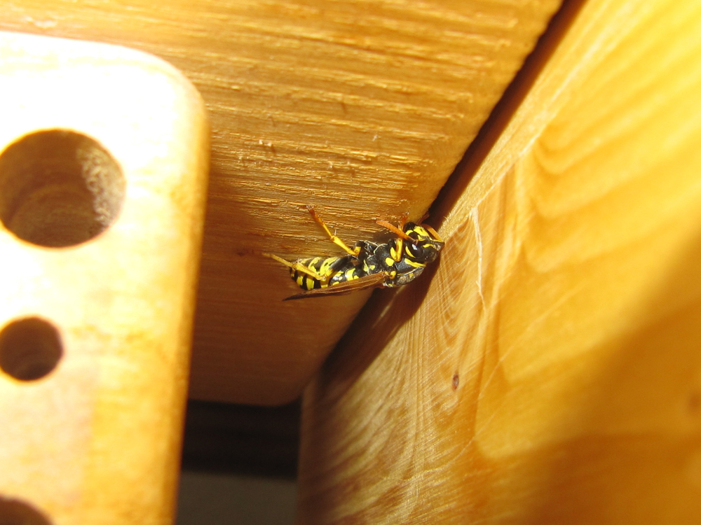 Polistes dominula am Wildbienenhaus.JPG